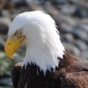 Profile of Bald Eagle