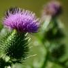 Burdock Bloom