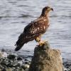 Juv, Bald Eagle
