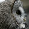 Great owl