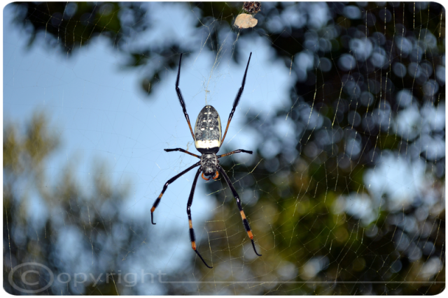 Golden Orbweb Spider