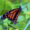 Walk Monarch 1