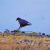 Walk Crow 1