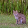 Bobcat 3 1