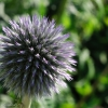 Blue_globe_thistle_greenery