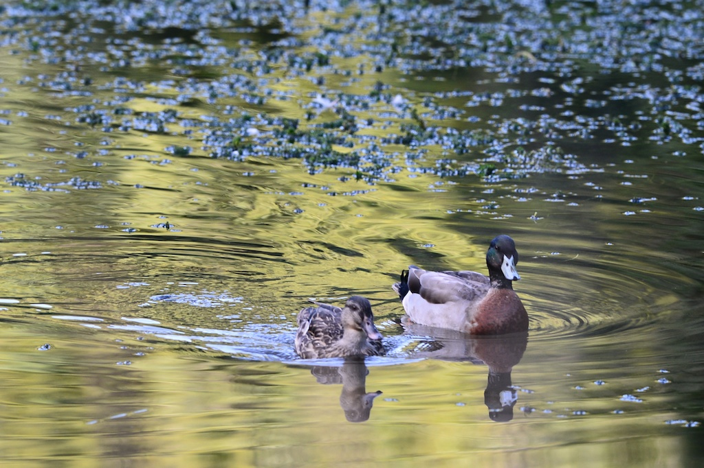 migratory behavior of mallard ducks essay Mallard ducks: it seems like they're everywhere (spoiler alert: they pretty much are), and they're familiar to most of us but what do you know about them beyond they're the ones with the green heads if it isn't much, here are 15 facts about them.