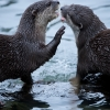 A pair Of Asian shortclawed otters