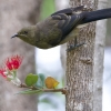 Bellbird And Pohutakawa Flower
