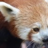 Red Panda with white face And Ear