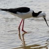 Pied Stilt & concentric circle