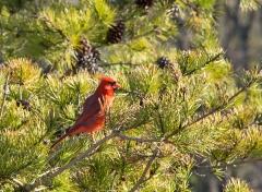 Redbird Rooster
