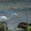 White Crane Hunting