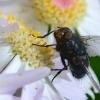 A big fly