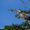 Heron in a Spruce tree