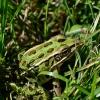 Frog Web