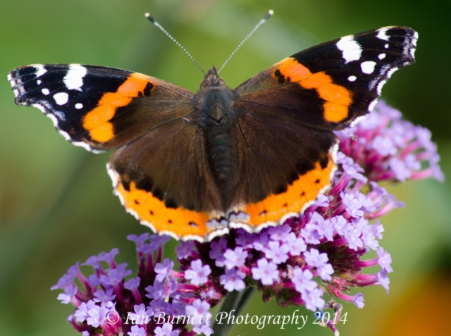 Red Admiral 3