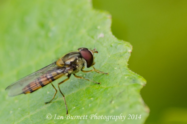 Hover fly on green leaf 2