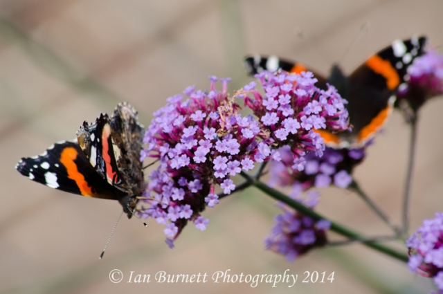 Red Admiral 6