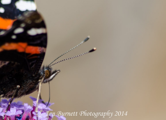 Red Admiral headshot 1