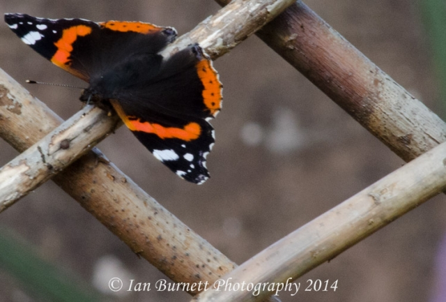 Red Admiral 8