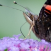 Red Admiral headshot 2