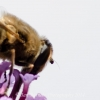 honey bee close up
