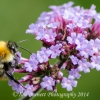 bumble bee on purple flowwers