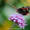 Red Admiral 7