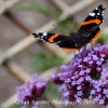 Red Admiral 9