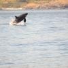 Breeching Orca