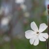 Tiny bug after bath in Silene latifolia flower