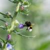 Bumblebee farming Echium vulgare (2 - final approach)