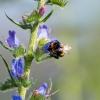 Bumblebee farming Echium vulgare (3 - on target)
