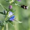 Bumblebee farming Echium vulgare (1 - incoming)