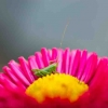 Small grasshopper sitting on a flower