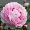 Pink peony in the garden in bloom