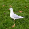 White pigeon on a green meadow