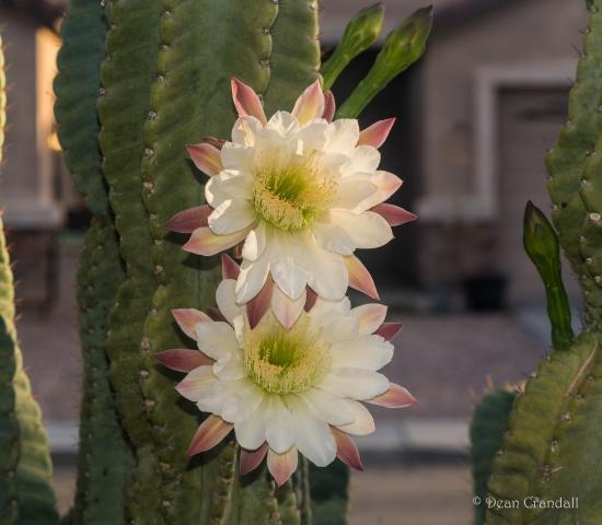 cactus flowers 2