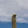 Saguaro W flowers
