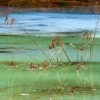 Swamp Grass in Blue and Green Ice #1 (D1H)