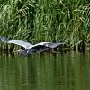 Grahager flyger 010818