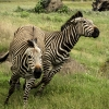 Zebras fighting for dominance