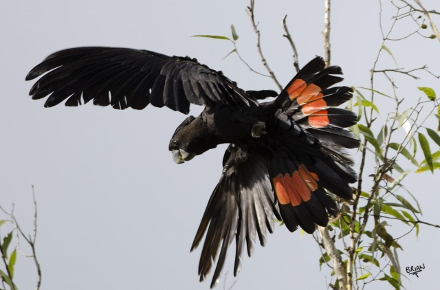 Red-tailed Black Cockatoo male In flight