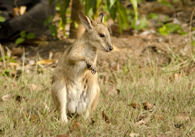 Agile Wallaby Joey