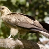 Whistling Kite in tree
