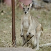 Agile Wallaby with joey