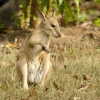 Agile Wallaby Joey