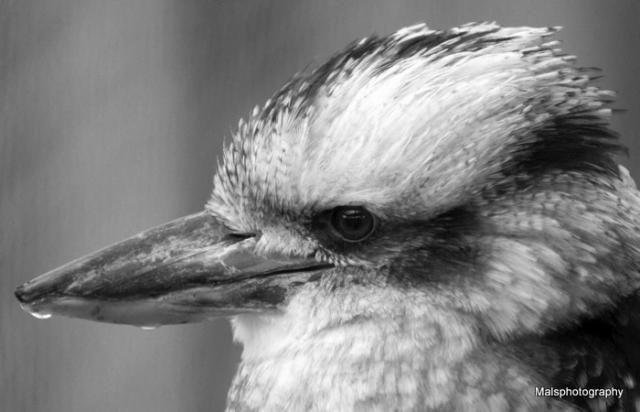 A bird from oz