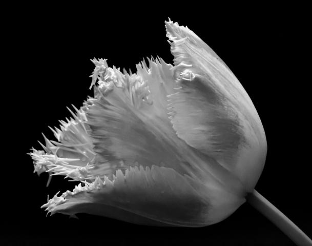 mono fringed tulip