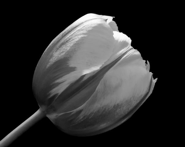 garden tulip in close up